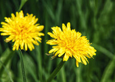 Dentes-de-leão amarelos que crescem em circunstâncias naturais Imagem de Stock Royalty Free