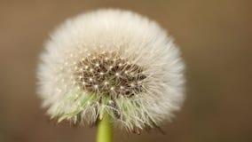 Dentes-de-leão das flores da mola na grama verde na brisa, vista macro, movimento 4K lento video estoque