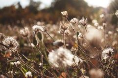 Dentes-de-leão e por do sol das flores Imagens de Stock