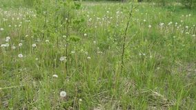 Dentes-de-leão em um prado verde após a florescência vídeos de arquivo