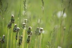 Dentes-de-leão fechados em um prado com fundo verde fotografia de stock royalty free