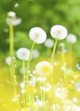 Dentes-de-leão, flores do verão fotos de stock