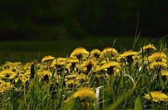 Dentes-de-leão na grama Foto de Stock