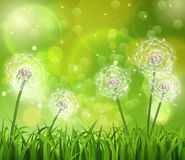 Dentes-de-leão na grama em um fundo verde Imagens de Stock