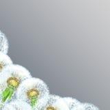 Dentes-de-leão no close up cinzento do fundo Fotografia de Stock Royalty Free