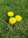 Dentes-de-leão no gramado Fotos de Stock