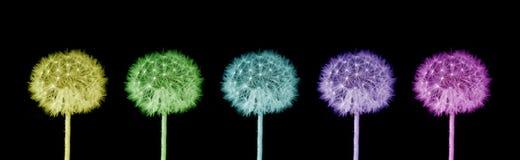 Dentes-de-leão coloridos Imagens de Stock