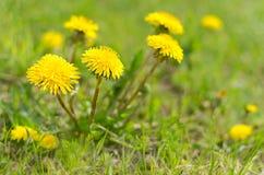 Dentes-de-leão entre a grama verde Fotografia de Stock
