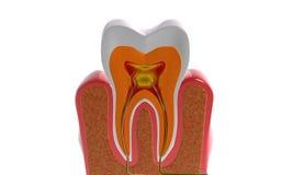 Dentes de seção transversal Imagem de Stock Royalty Free