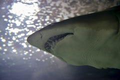 Dentes de um tubarão Fotografia de Stock Royalty Free