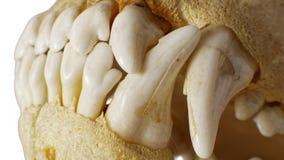 Dentes do crânio do cão Fotografia de Stock