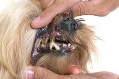 Dentes do tártaro do cão velho Imagens de Stock Royalty Free
