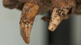 Dentes ferozes da maxila inoperante do croc, Colômbia filme