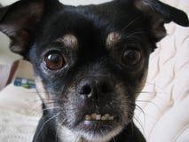 Dentes maus do close up feio da cara do cão preto imagem de stock royalty free