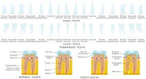Dentes permanentes Ilustração Stock