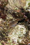 Dentex blenny Stock Image