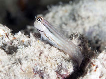 Dentex blenny Royalty Free Stock Photography