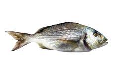 Dentex Fish Royalty Free Stock Image