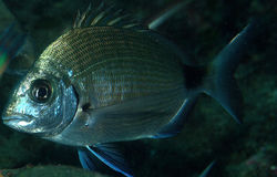 Dentex. Nocturnal predator snapper hunting close up royalty free stock images