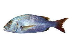 Dentex vulgaris toothed sparus snapper fish Stock Images