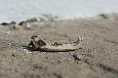 Denti animali Fotografia Stock Libera da Diritti