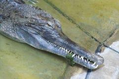 denti del coccodrillo fotografie stock