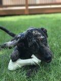 Denti del cucciolo Immagini Stock Libere da Diritti
