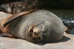 Denti del leone di mare Fotografie Stock Libere da Diritti