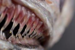 Denti del pesce Fotografie Stock