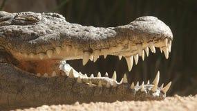 Denti dell'alligatore o del coccodrillo Immagini Stock