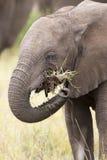 Denti dell'elefante e primo piano della bocca con il conversio artistico del dettaglio Fotografia Stock Libera da Diritti