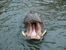 Denti dell'ippopotamo Immagini Stock