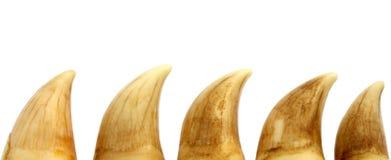 Denti della balena Fotografia Stock