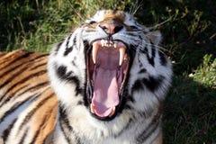 Denti della tigre Fotografie Stock Libere da Diritti