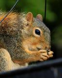 Denti dello scoiattolo Immagini Stock Libere da Diritti