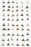 Denti dello squalo Fotografia Stock Libera da Diritti