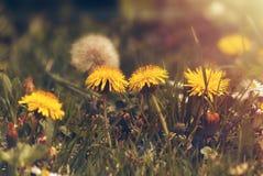 Denti di leone che crescono nell'erba verde con luce dorata Fotografia Stock