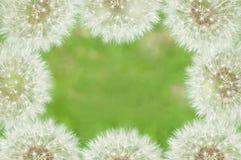 Denti di leone dei fiori bianchi della pagina Immagine Stock Libera da Diritti