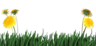 Denti di leone del abd dell'erba verde Fotografie Stock