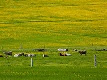 Denti di leone del campo dei bovini da carne Immagini Stock Libere da Diritti