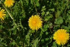 Denti di leone gialli dei wildflowers immagine stock libera da diritti
