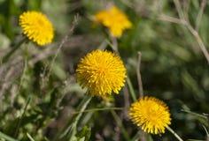 Denti di leone gialli della molla su fondo verde, macro Fotografie Stock