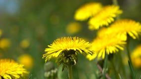 Denti di leone gialli di fioritura che tremano nel colpo del carrello del vento 4K archivi video