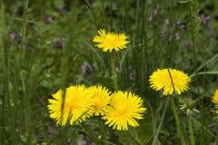Denti di leone gialli in erba verde Fotografia Stock