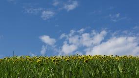 Denti di leone gialli in erba verde contro il lasso di tempo soleggiato del cielo 4K stock footage
