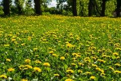 Denti di leone gialli nel giorno solare del ` s di estate della radura del prato Immagini Stock