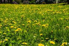 Denti di leone gialli nel giorno solare del ` s di estate della radura del prato Fotografia Stock
