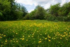 Denti di leone gialli nel giorno solare del ` s di estate della radura del prato Immagine Stock