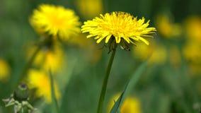 Denti di leone gialli nella fine del carrello dell'erba verde 4K sul video video d archivio
