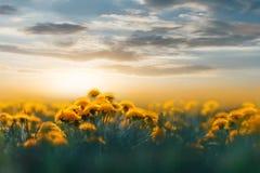 Denti di leone gialli nella lampadina del tramonto nel campo selvaggio Priorità bassa floreale naturale Molla di estate di concet fotografie stock libere da diritti